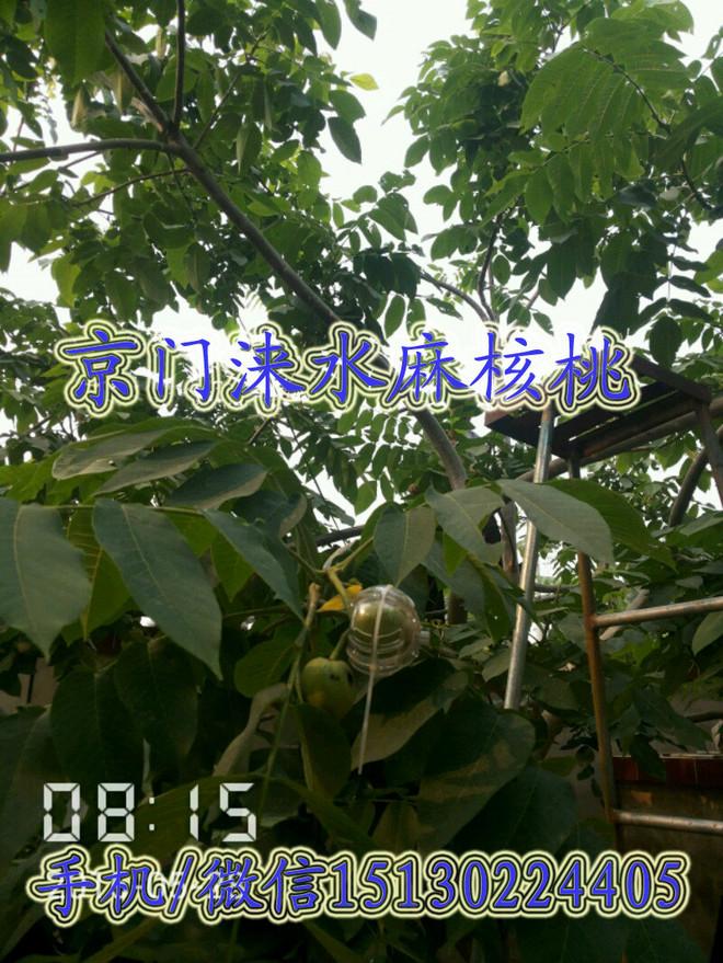 麻核桃产品服务 麻核桃树种植嫁接管理